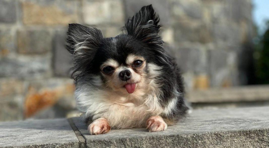 Le petit chihuahua au grand coeur est nommé chien héros américain de l'année 2020