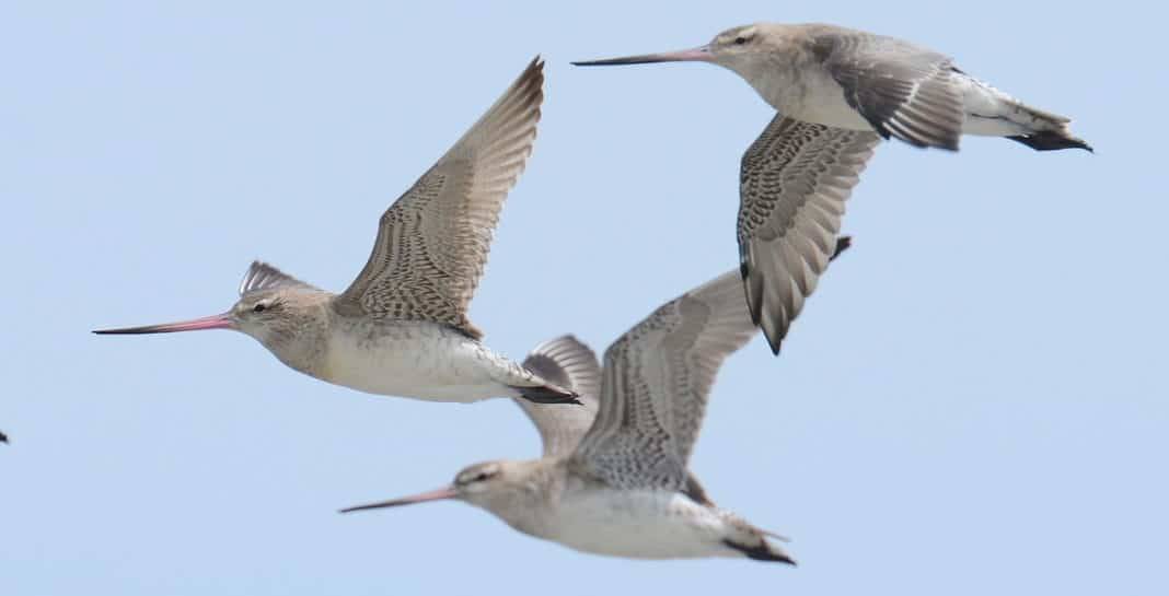 Un nouveau record pour la plus longue migration d'oiseaux - 7 500 miles sans faire un seul arrêt