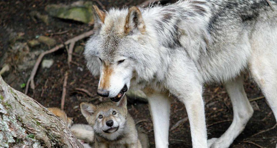 Hurlant de joie : Après 45 ans, le loup gris a été retiré de la liste des espèces menacées aux États-Unis