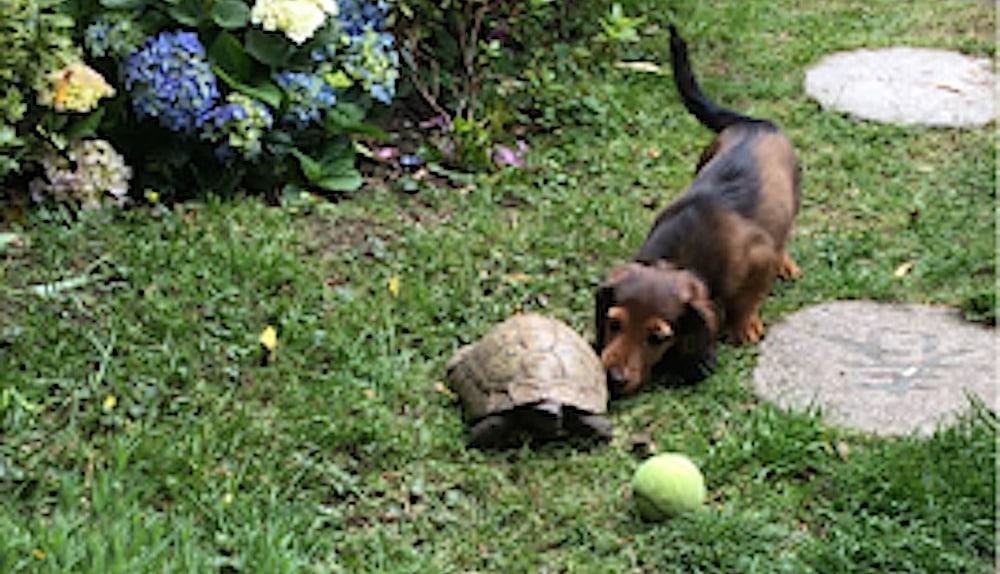 Regardez le teckel et la tortue rapide de la famille jouer au football ensemble