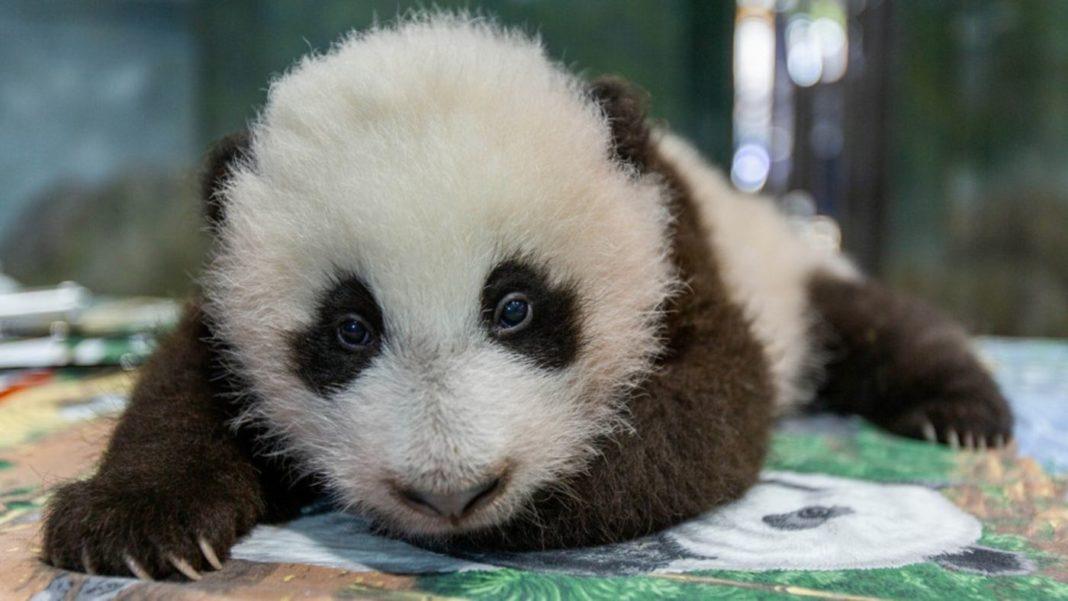 Le zoo national a un nouveau panda - et ils demandent des votes pour le nommer