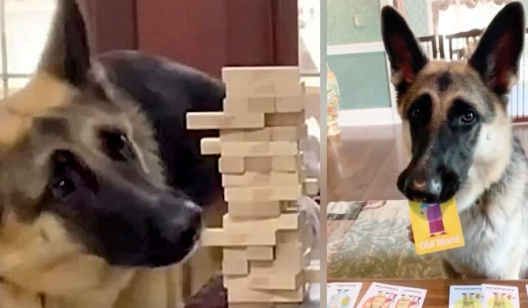 Le berger allemand joue le rôle principal dans les soirées de jeux en famille, en jouant à tout ce qu'on lui met sous les yeux - WATCH