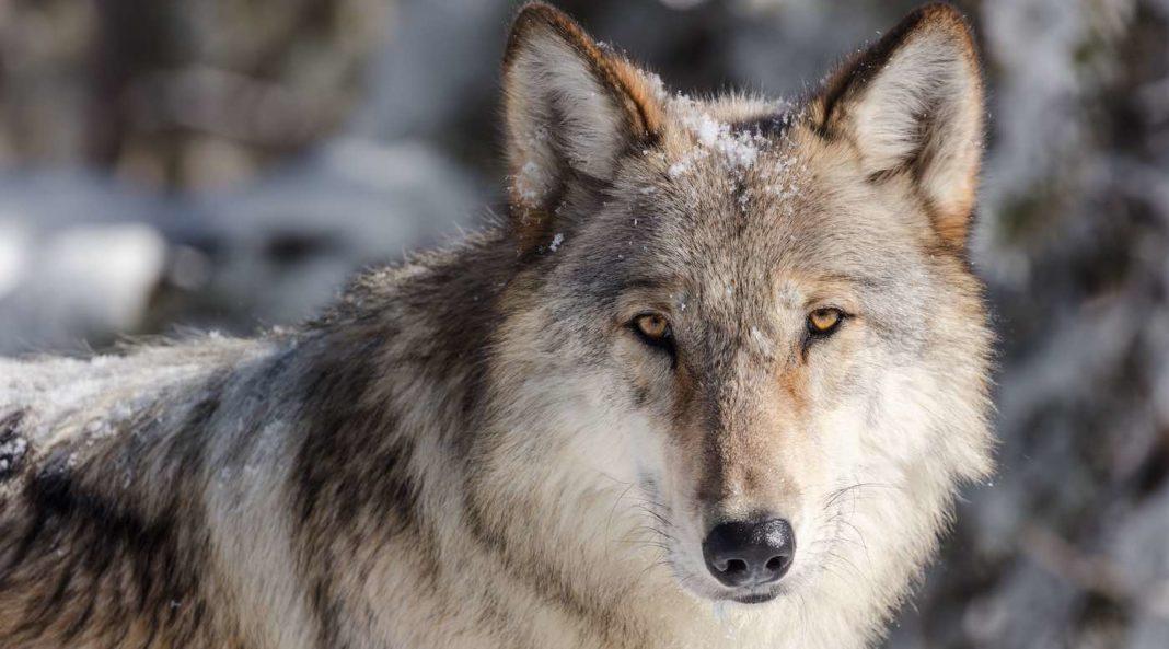 Lors d'un vote historique, les Coloradiens ont approuvé la réintroduction des loups gris à l'ouest des Rocheuses