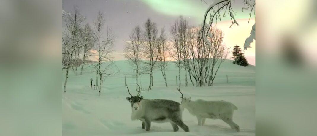 Détendez-vous en regardant ces rennes contempler les aurores boréales...