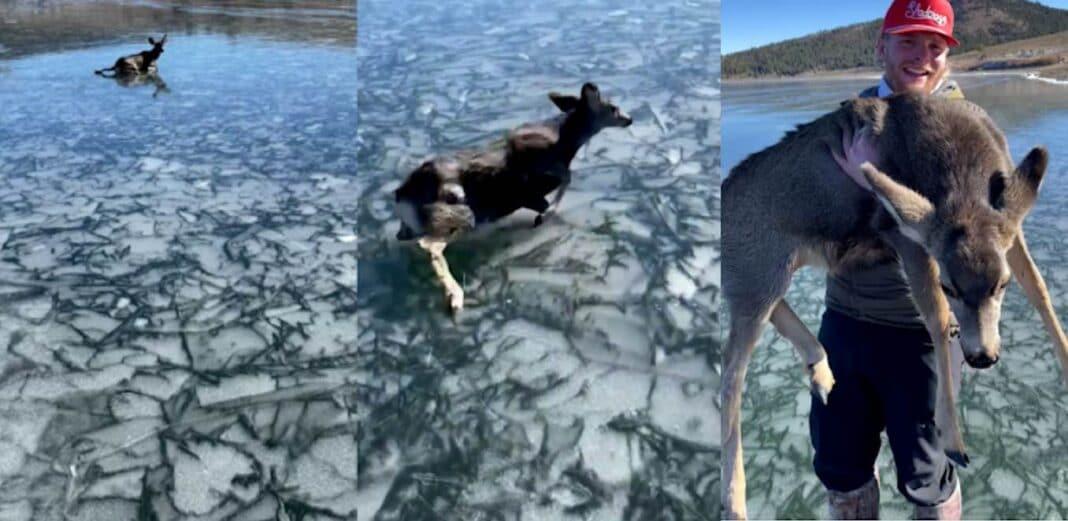 Regardez les pêcheurs risquer de marcher sur le lac gelé pour sauver un bébé cerf épuisé