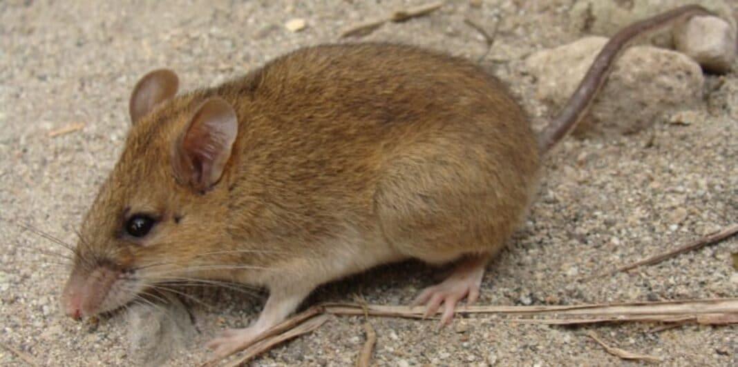 30 ans après que la souris du volcan ait disparu, des recherches révèlent qu'elle se porte bien