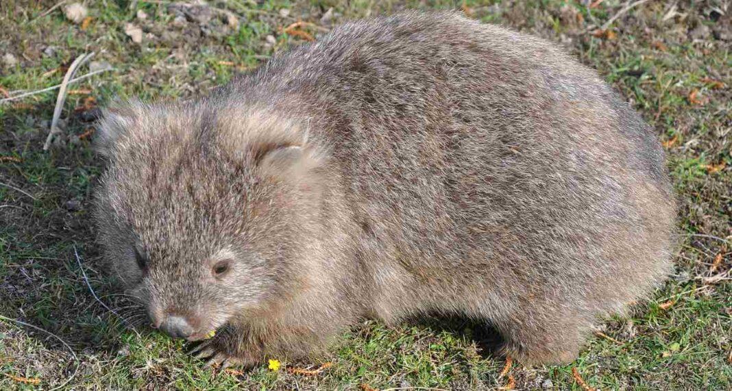 Les Wombats salués comme des héros pour avoir creusé sous terre, révélant un puits d'eau pendant la sécheresse