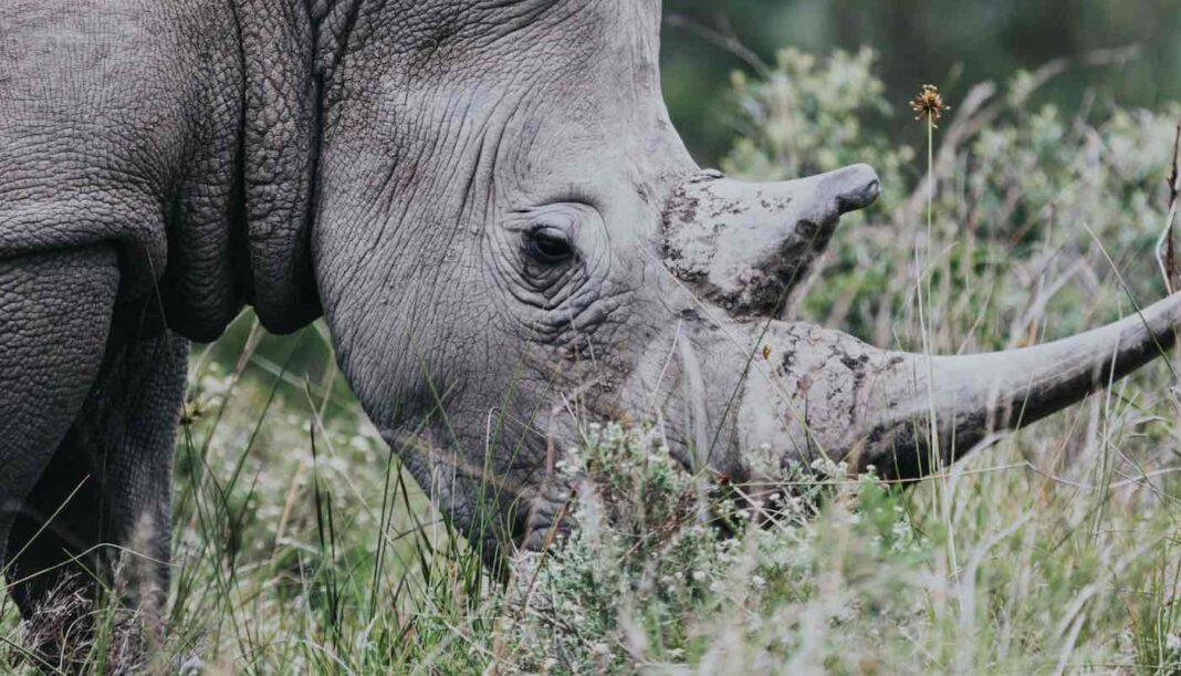 Zéro rhinocéros braconné au Kenya l'année dernière - L'amélioration des services de police est l'une des clés
