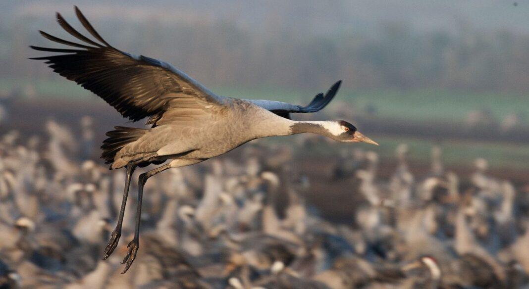 400 ans après avoir été anéanties par les chasseurs, les grues sauvages de Grande-Bretagne font un Comeback