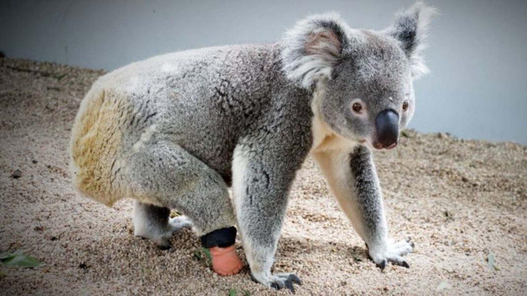 Après que les fabricants de prothèses aient déclaré que c'était impossible, l'orphelin Koala retrouve un pied grâce à un dentiste