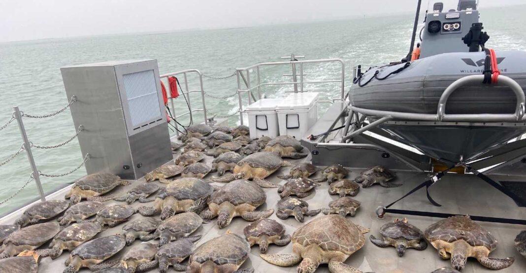 Des bénévoles au Texas ont sauvé des milliers de tortues de mer du temps froid