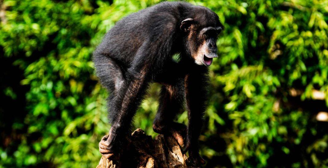 Les chimpanzés de deux zoos tchèques se zooment les uns sur les autres tous les jours