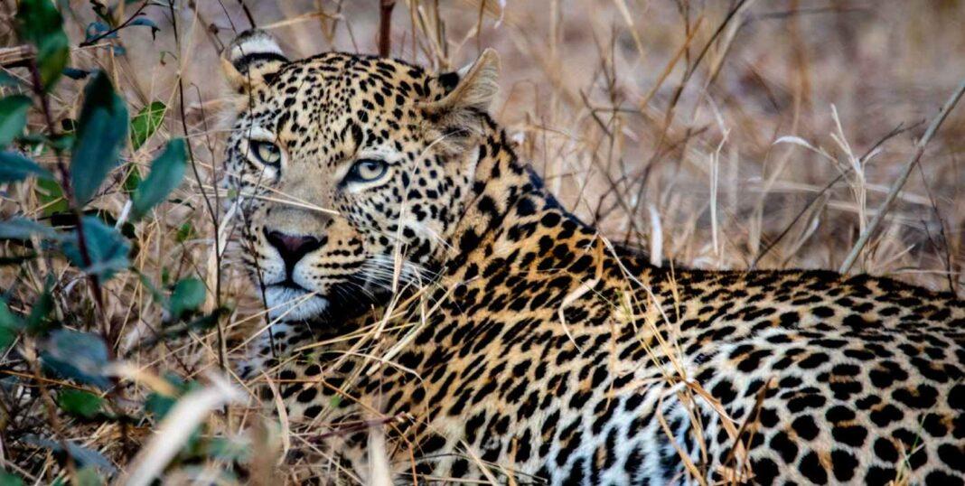 En première mondiale, une espèce africaine clé sera déplacée vers un autre continent après s'être éteinte en Inde.