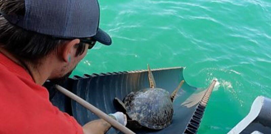 MISE À JOUR : 2 200 tortues de mer ont été relâchées par des bénévoles dans le Golfe