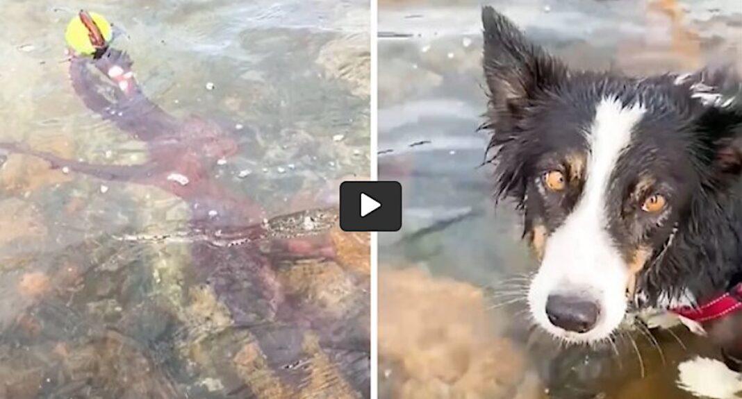Regardez ce qui se passe lorsqu'une pieuvre vole une balle de tennis à un Border Collie.