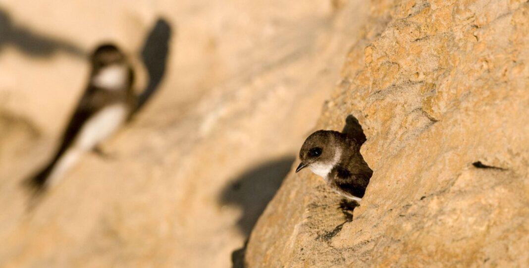 Des protecteurs d'oiseaux ont construit un château de sable géant pour que ces hirondelles aient un lieu de nidification pour les années à venir.