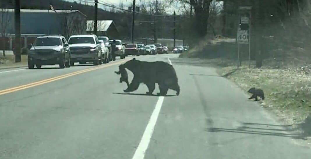 Regardez une maman ours noir lutter de façon hilarante pour faire traverser la route à ses quatre oursons.