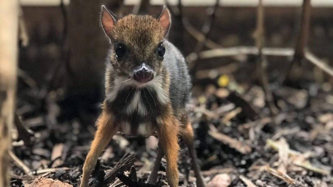 Un minuscule cerf-souris né au zoo anglais a la taille d'un crayon - et il est adorable.
