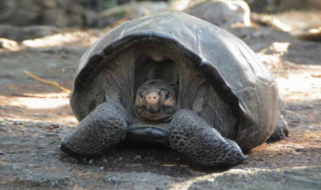 BREAKING : Une tortue géante des Galápagos âgée de 100 ans, trouvée sur l'île Fernandina, est bien un membre d'une espèce