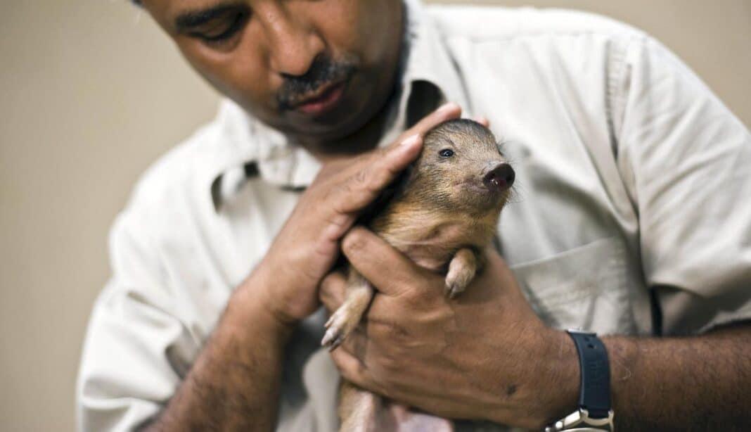 Le plus petit cochon du monde, mesurant 10 pouces, que l'on croyait disparu, revient à l'état sauvage