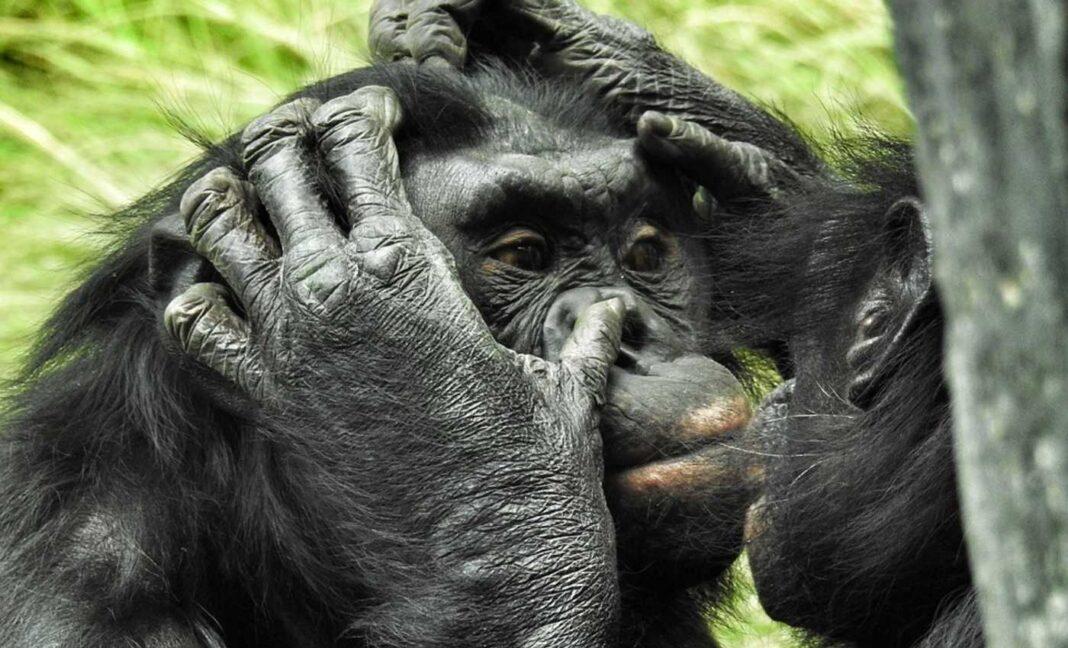 Certains singes généreux pourraient aider à expliquer l'évolution de la bonté humaine