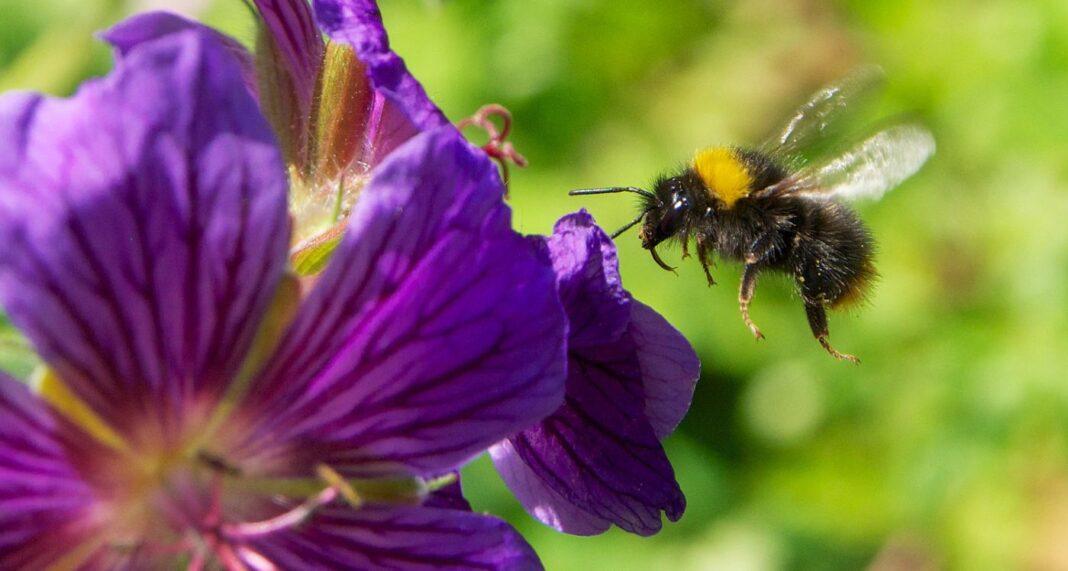 Les abeilles mordent les plantes pour les faire fleurir plus tôt - des scientifiques surprenants