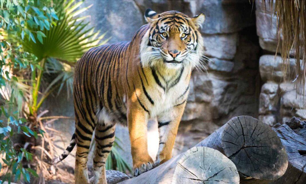 La police capture un braconnier de tigre insaisissable après 20 ans de poursuite du chasseur de félins du Bengale