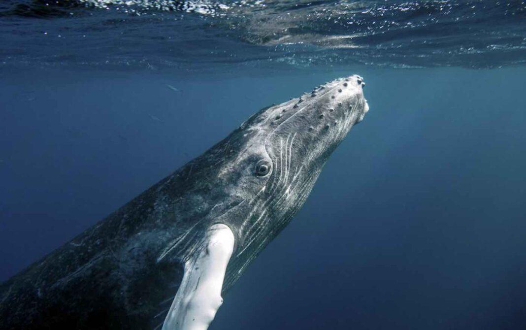 Les baleines à bosse menacées d'extinction bénéficient de nouvelles protections dans l'océan Pacifique grâce aux États-Unis