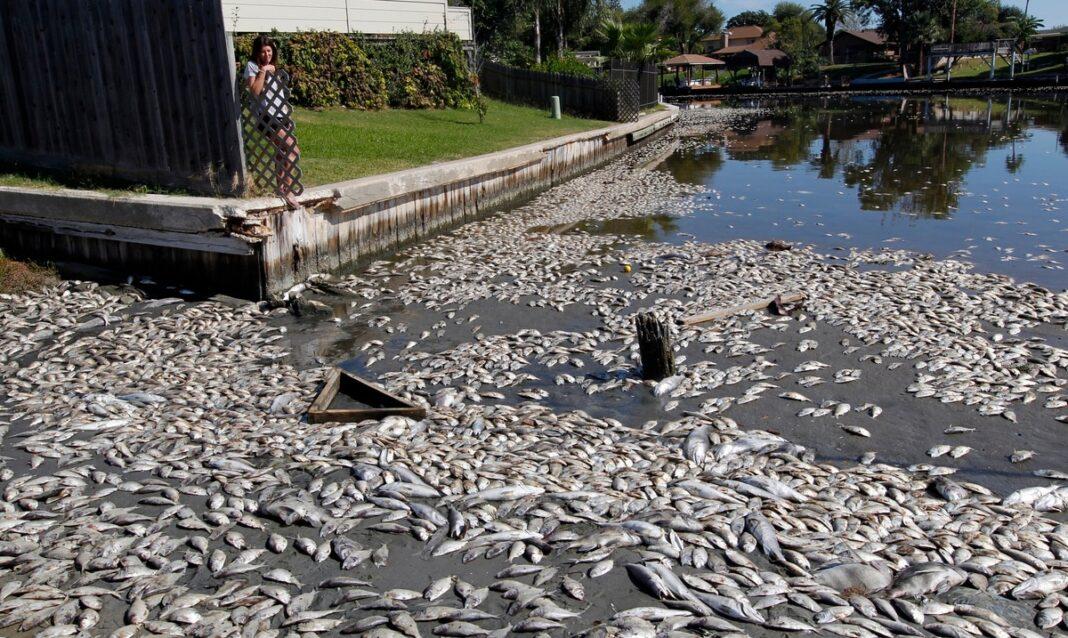 En esta fotografía de archivo del martes 30 de octubre de 2012, Kim Bertini mira a unos 15,000 peces muertos que terminaron cerca de su jardín trasero en el lago Madeline, en Galveston, Texas. (Jennifer Reynolds/The Galveston County Daily News vía AP, archivo)
