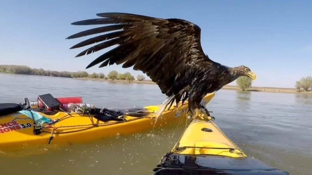 Des kayakistes réfléchis sauvent un couple d'aigles rares de la noyade dans le Danube