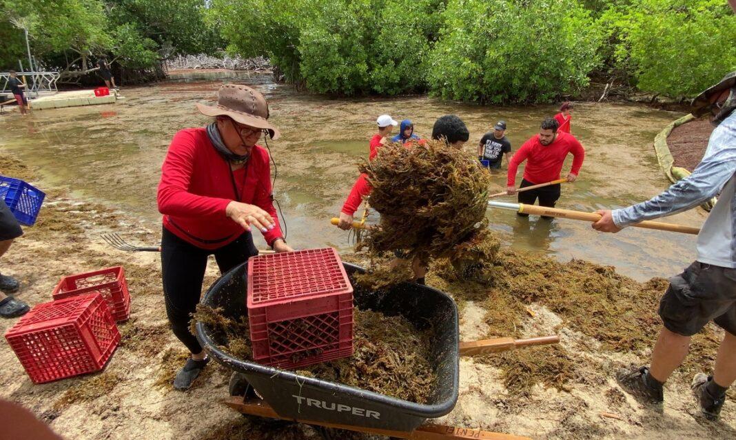 Un grupo de voluntarios recoge el sargazo que ha llegado las Croabas, en Fajardo.