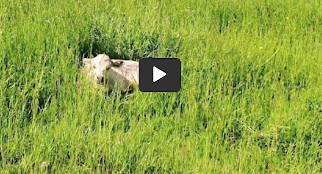 Un agriculteur inquiet utilise un drone pour examiner un veau malade
