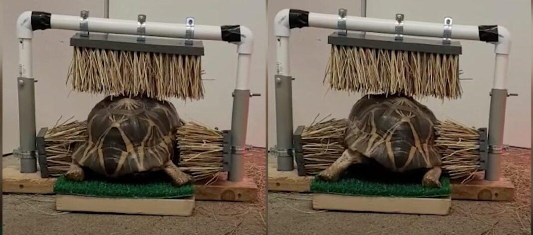 Regardez cette tortue chanceuse profiter de son nouveau dispositif de grattage fait maison à partir de têtes de balai.