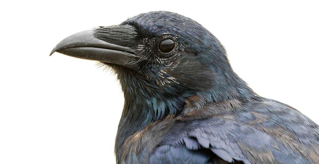 Les scientifiques qui étudient les corbeaux ont une autre surprise : ils sont si intelligents qu'ils comprennent le concept de zéro.