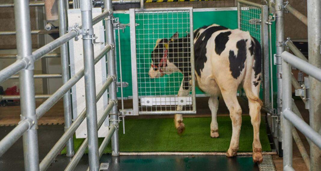 Les vaches sont dressées à la propreté pour sauver la planète - Des chercheurs amoureux des animaux sont impressionnés par les résultats.