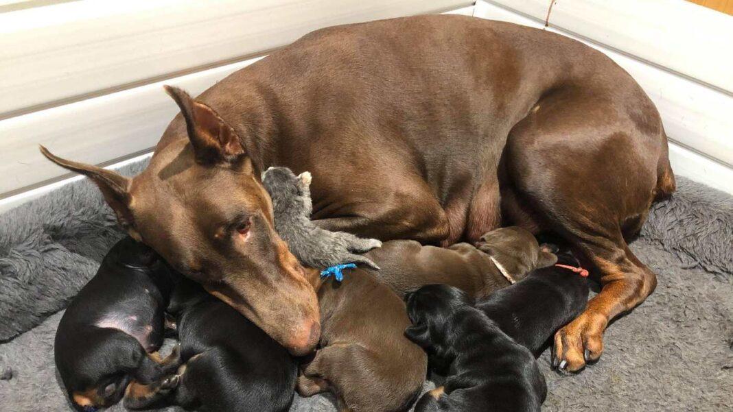 Un chien doberman s'occupe d'un minuscule chaton abandonné avec ses chiots - les adorables photos vont vous faire chaud au cœur.