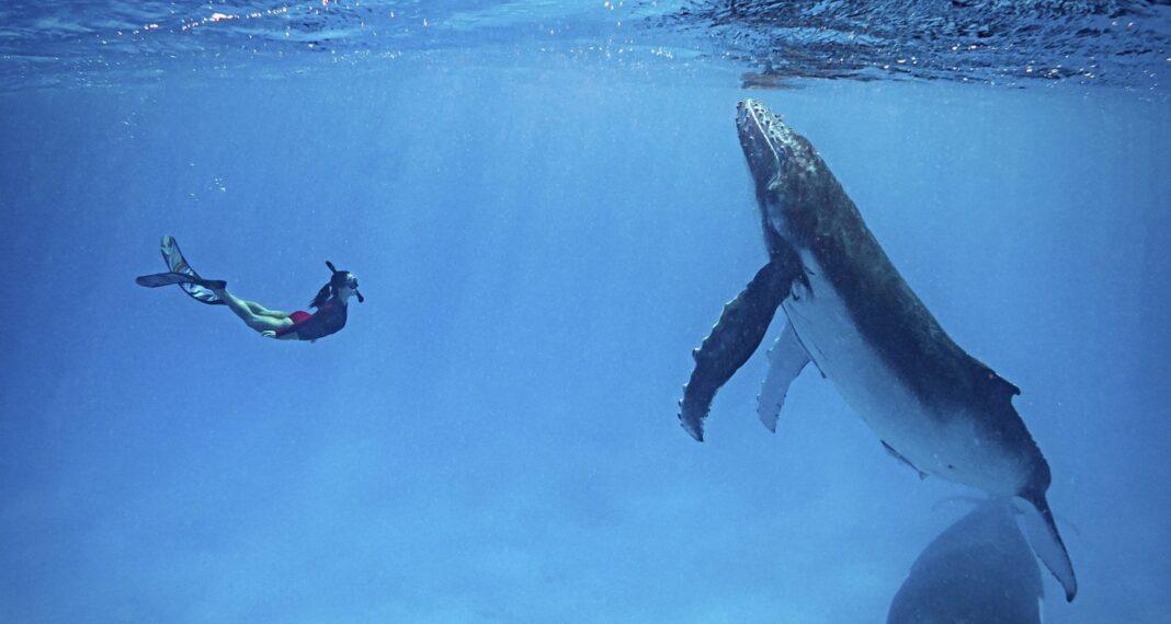Une vidéo incroyable montre la rencontre étonnante d'un mari et d'une femme avec un groupe de baleines à bosse.
