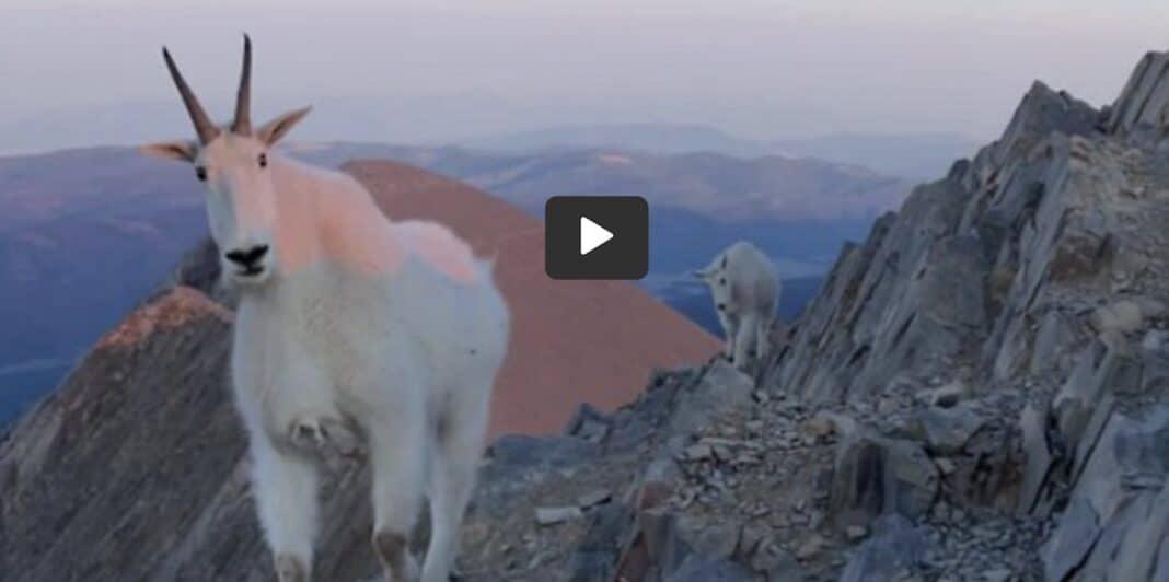 Un randonneur atteint le sommet et fait la plus belle rencontre avec des chèvres de montagne