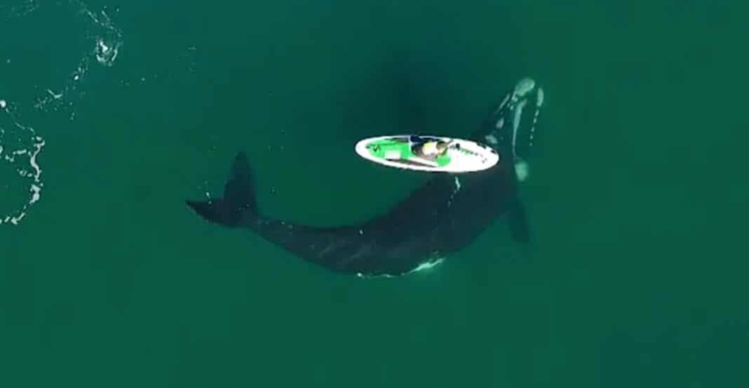 Une baleine curieuse donne un coup de coude à un pagayeur en Argentine dans une vidéo étonnante (WATCH)