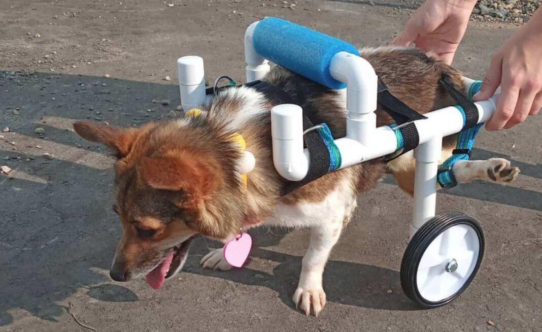 Un adolescent du Minnesota construit des fauteuils roulants gratuits pour les chiens et les chats handicapés - et bientôt un canard (WATCH)
